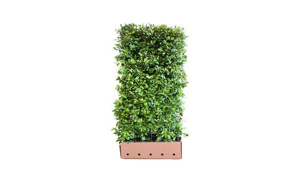 Quickhedge Elaeagnus ebbingei • Gras en Groen Hagen