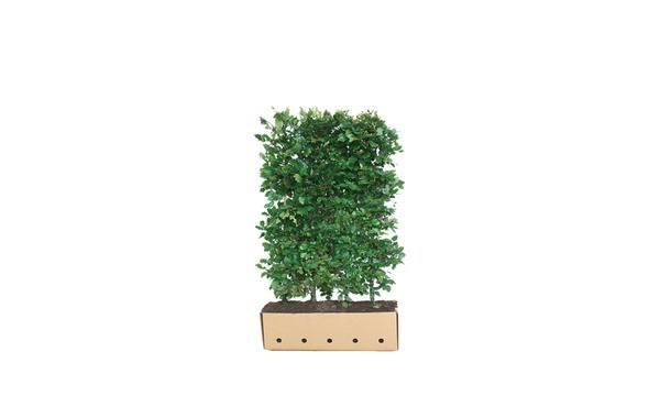 Quickhedge beukenhaag - 150 cm • Gras en Groen Winkel