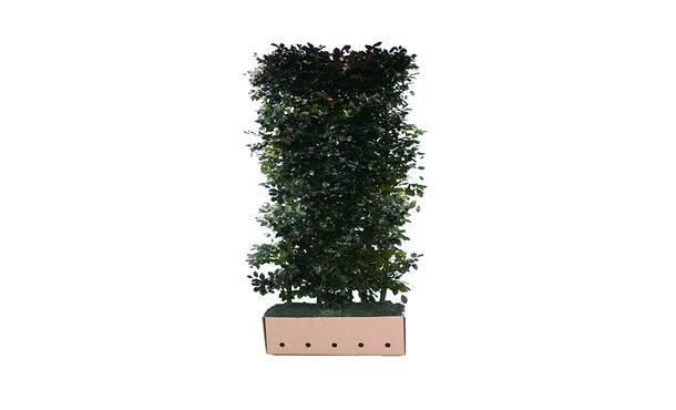 Quickhedge Fagus sylvatica 'Atropunicea' • Gras en Groen Hagen