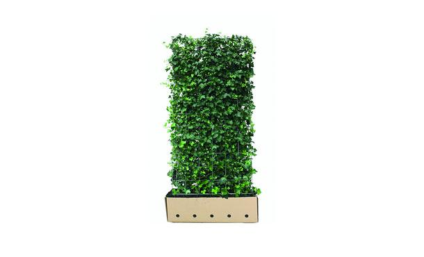 Quickhedge Hedera hibernica • Gras en Groen Hagen