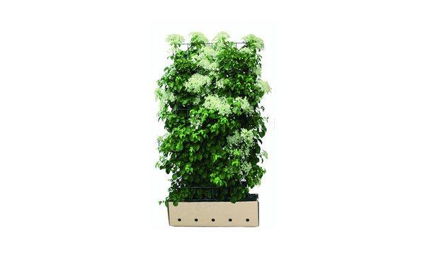 Quickhedge Hydrangea anomala petiolaris • Gras en Groen Hagen