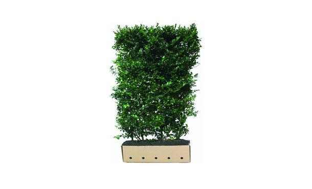 Quickhedge Hulst 'Blue Maid' - 180 cm • Gras en Groen Winkel