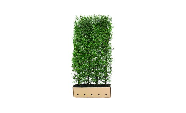 Quickhedge Ligustrum vulgare 'Atrovirens' • Gras en Groen Hagen