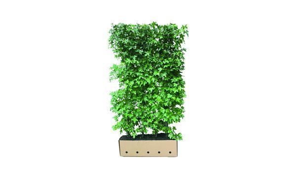 Quickhedge Liquidambar styraciflua • Gras en Groen Hagen