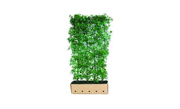 Quickhedge Liquidambar styraciflua 'Worplesdon' • Gras en Groen Hagen