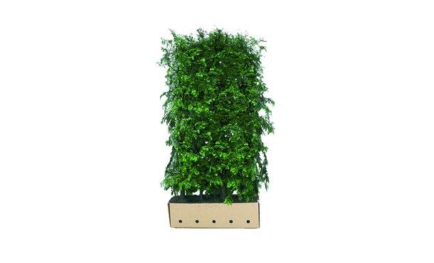 Quickhedge Metasequoia glyptostroboides • Gras en Groen Hagen