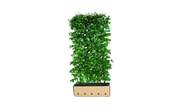 Quickhedge Parrotia persica • Gras en Groen Hagen
