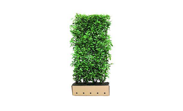Quickhedge Prunus laurocerasus 'Genolia' • Gras en Groen Hagen