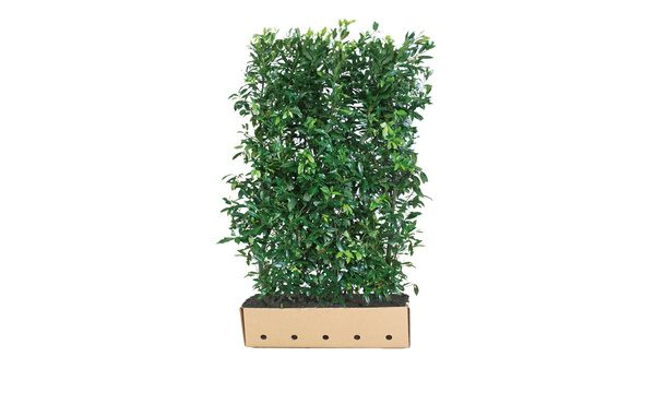 Quickhedge Prunus laurocerasus 'Herbergii' • Gras en Groen Hagen