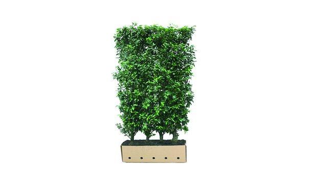 Quickhedge Prunus lusitanica 'Angustifolia' • Gras en Groen Hagen