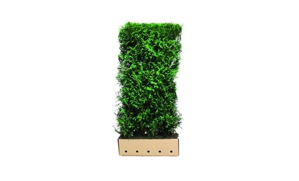 Quickhedge Thuja plicata 'Martin' • Gras en Groen Hagen