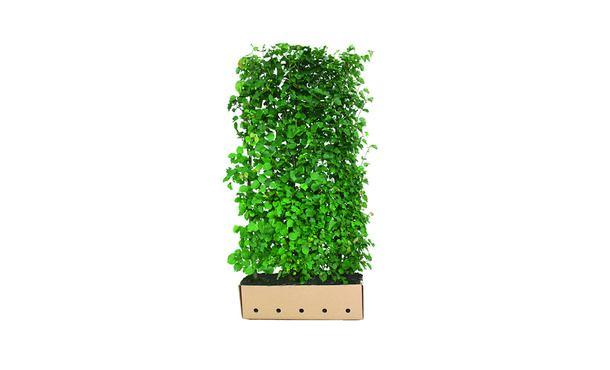 Quickhedge Tilia cordata • Gras en Groen Hagen