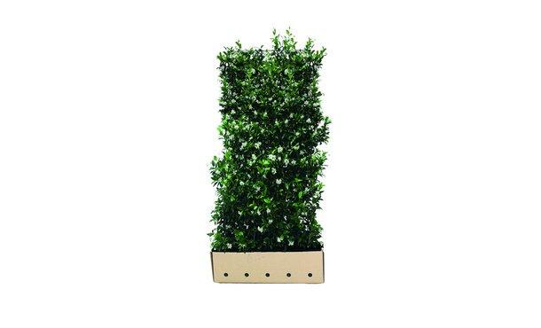 Quickhedge Trachelospermum jasminoides • Gras en Groen Hagen