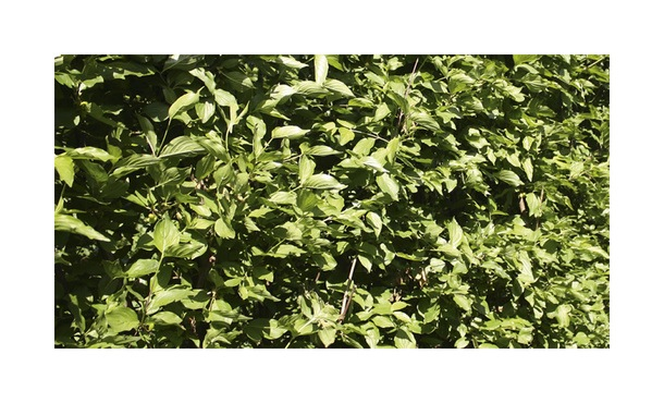Quickhedge Cornus mas • Gras en Groen Hagen