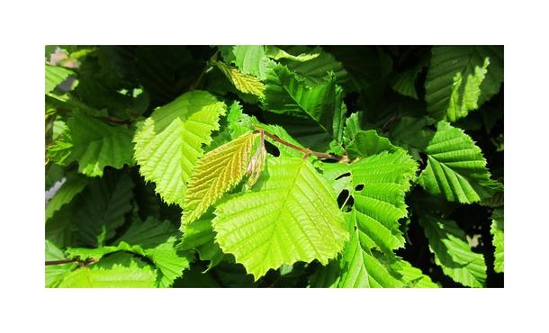 Haagbeuk - Carpinus betulus • Gras en Groen Hagen