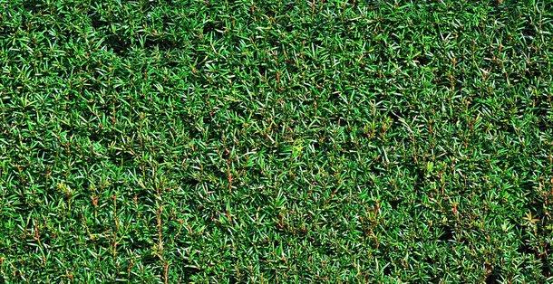 Taxus - Taxus Baccata • Gras en Groen Hagen