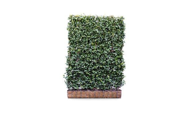 Kant en klaar haag Euonymus Dart's Blanket 2 • Gras en Groen Hagen