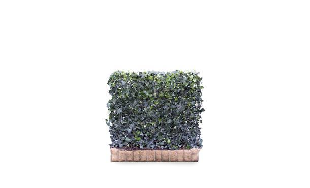 Hedera helix Woerner 2 • Gras en Groen Hagen