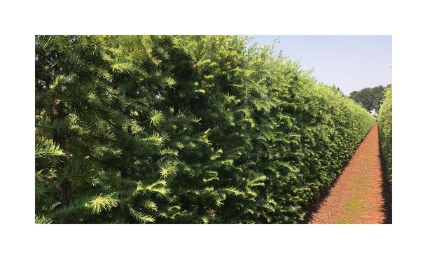 Quickhedge Larix Kaempferi 2 • Gras en Groen Hagen