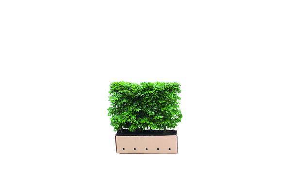 Quickhedge Fagus Sylvatica 80 • Gras en Groen Hagen