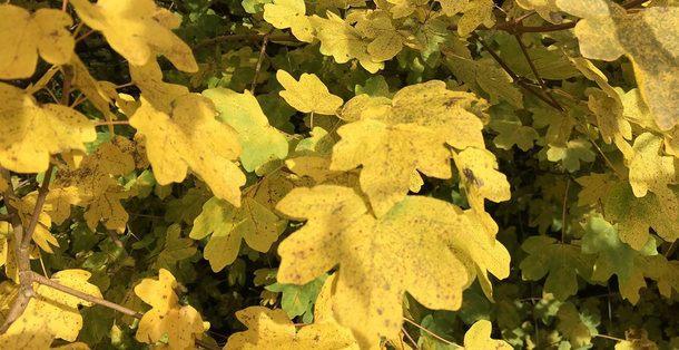 Veldesdoorn - Acer Campestre • Gras en Groen Hagen