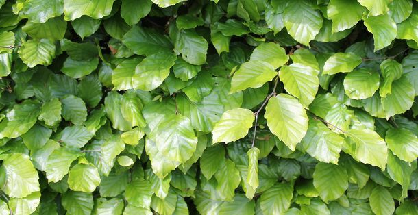 Groene beuk - Fagus Sylvatica • Gras en Groen Hagen