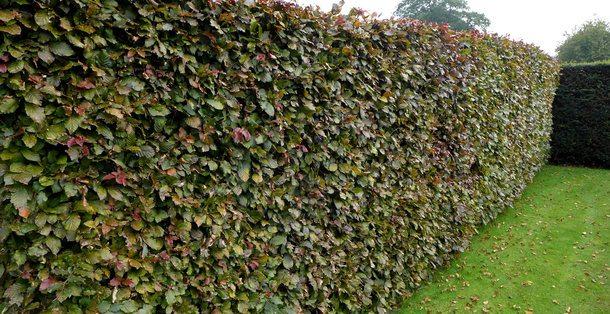 Rode beuk - Fagus Sylvatica 'Atropunicea' • Gras en Groen Hagen