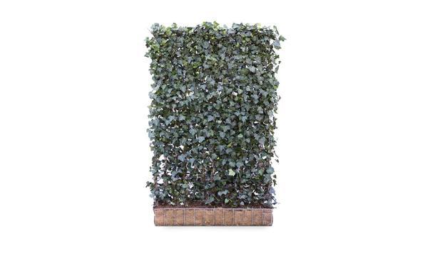 Hedera schutting hibernica - 180 cm - hardhout • Gras en Groen Schuttingen