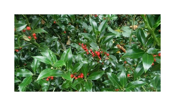 Gewone Hulst - Ilex aquifolium • Gras en Groen Hagen