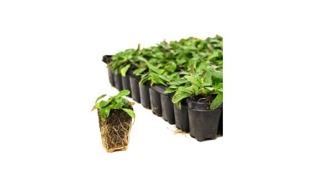 Kruidenpluggen P5 72 st. • Gras en Groen Winkel
