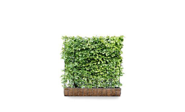 Kant en klaar haag Carpinus Betulus • Gras en Groen Hagen