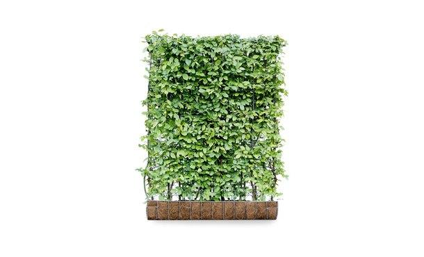 Kant-en-klaar Haagbeuk - 155 cm • Gras en Groen Winkel