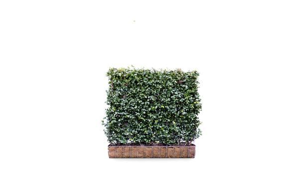 Kant-en-klaar Kardinaalsmuts - 100 cm • Gras en Groen Winkel