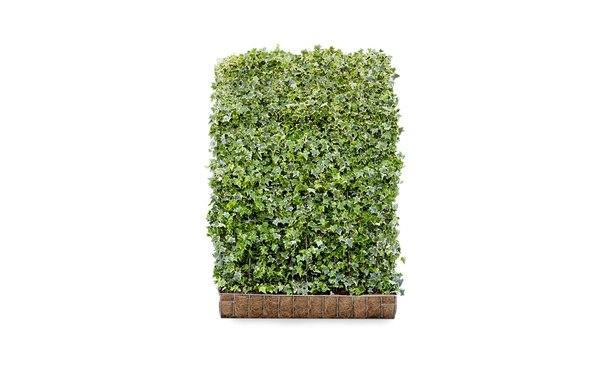 Hedera schutting helix Goldchild • Gras en Groen Schuttingen