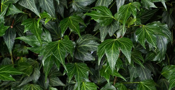 Kant-en-klaar Hedera helix Green Ripple 3 • Gras en Groen Hagen