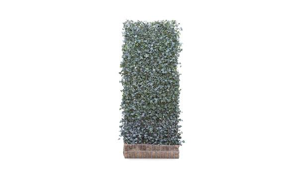 Hedera helix Woerner 1 • Gras en Groen Hagen