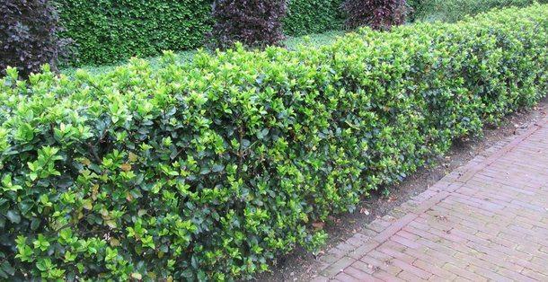 Schijnhulst  - Osmanthus x burkwoodii • Gras en Groen Hagen