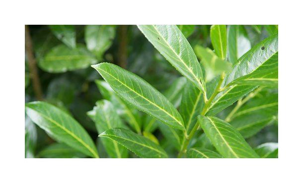 Laurier Caucasica - Prunus laurocerasus 'Caucasica' • Gras en Groen Hagen