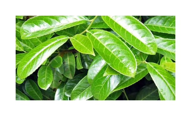 """Laurier Rotundifolia - Prunus laurocerasus """"Rotundifolia' • Gras en Groen Hagen"""