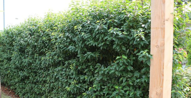 Portugese Laurier - Prunus lusitanica Angustifolia • Gras en Groen Hagen