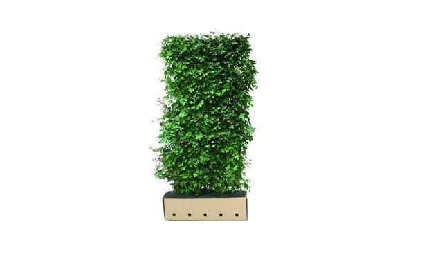 Quickhedge Veldesdoorn 200 cm • Gras en Groen Winkel