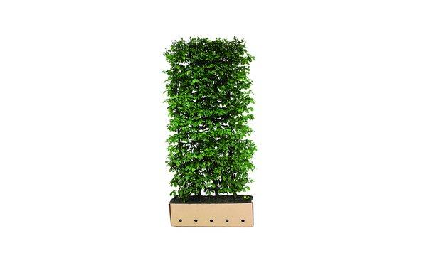 Quickhedge haagbeuk 200 cm • Gras en Groen Winkel