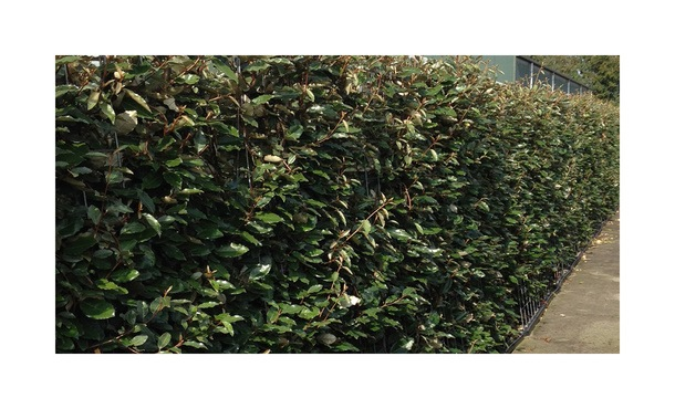 Quickhedge Elaeagnus ebbingei 1 • Gras en Groen Hagen