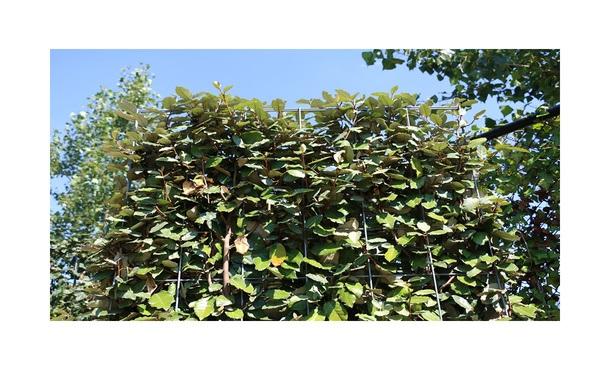 Quickhedge Elaeagnus ebbingei 2 • Gras en Groen Hagen