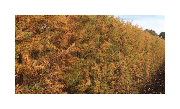 Quickhedge Larix Kaempferi 3 • Gras en Groen Hagen