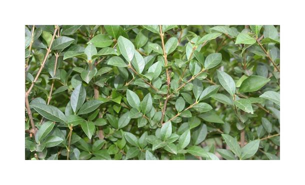 Quickhedge Ligustrum ovalifolium • Gras en Groen Hagen