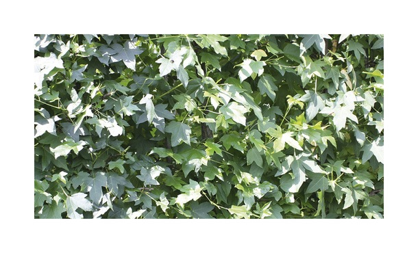 Quickhedge Liquidambar styraciflua 1 • Gras en Groen Hagen