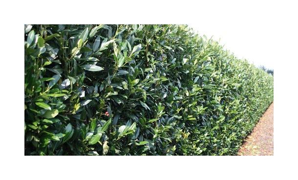 Quickhedge Prunus laurocerasus 'Herbergii' 2 • Gras en Groen Hagen