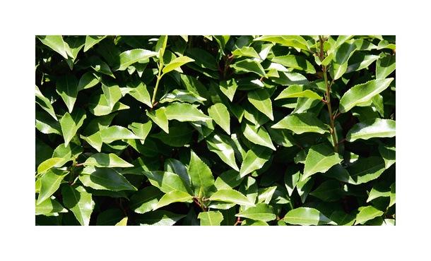 Quickhedge Prunus lusitanica 'Angustifolia' 1 • Gras en Groen Hagen