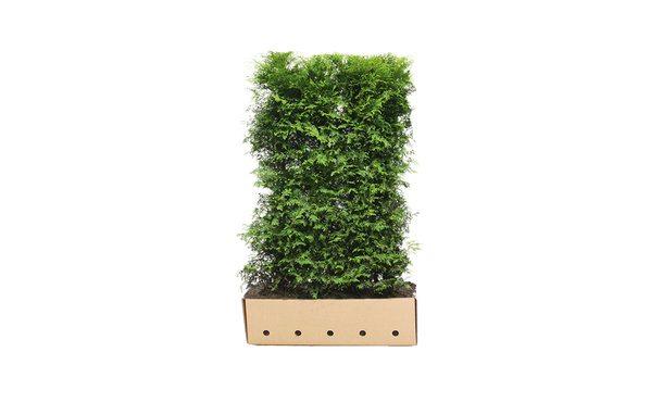 Quickhedge Conifeer 'Brabant' - 200 cm • Gras en Groen Winkel
